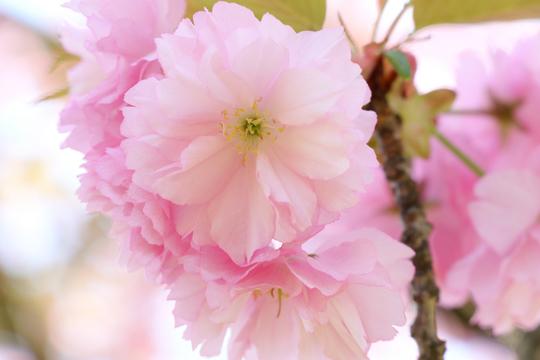 八重桜5l.jpg