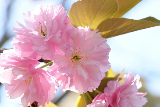 八重桜6l.jpg
