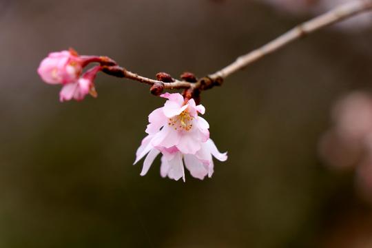 十月桜 1l.jpg