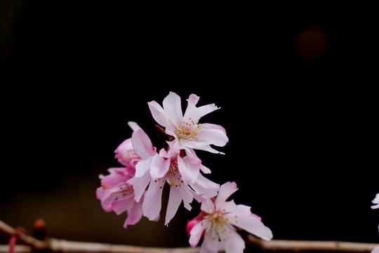 十月桜 2l.jpg