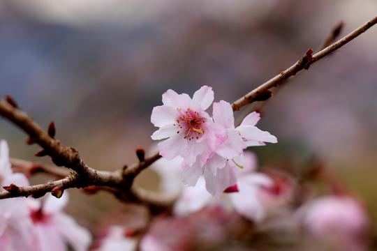十月桜 3l.jpg