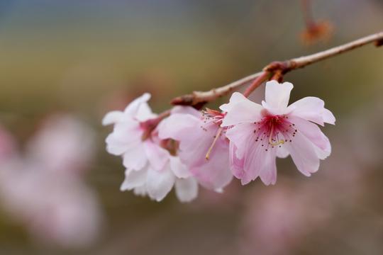 十月桜 4l.jpg