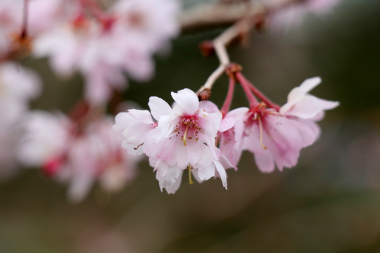 十月桜 5l.jpg