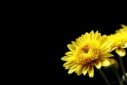 小菊 黄色 3.jpg