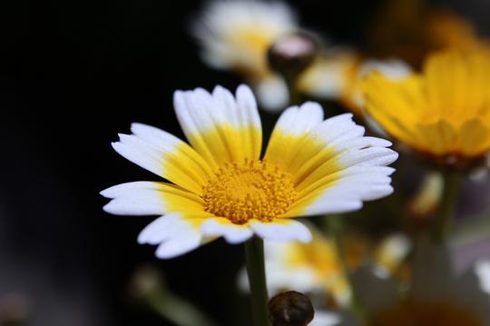 春菊 2l.jpg