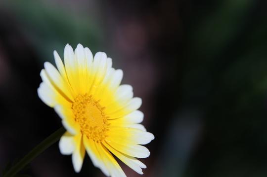 春菊 3l.jpg
