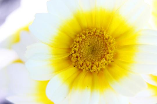 春菊 6l.jpg