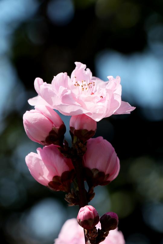 桃の花1-1l.jpg