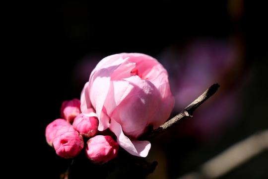 桃の花1-2l.jpg