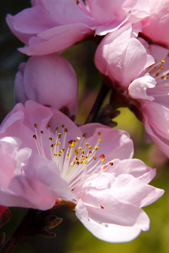 桃の花1-3l.jpg