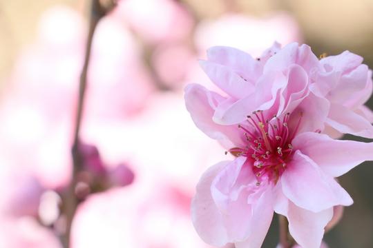 桃の花1-4l.jpg