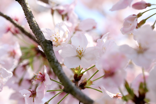 桜1l.jpg