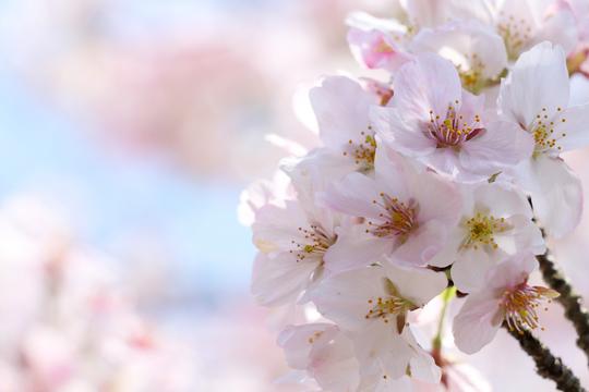 桜2l.jpg