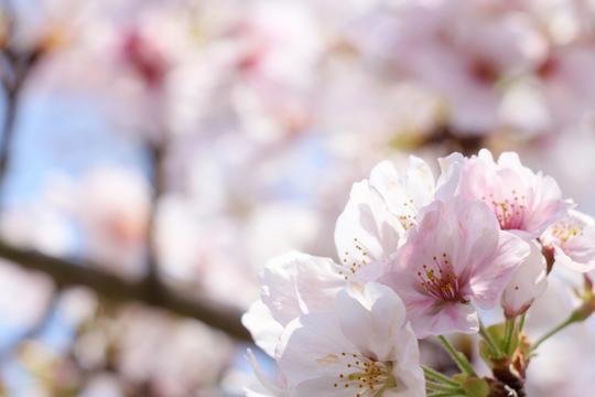桜3l.jpg