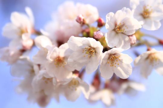 桜 5-3l.jpg