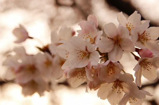 桜 5-4l.jpg