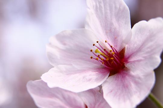 桜 6-1l.jpg