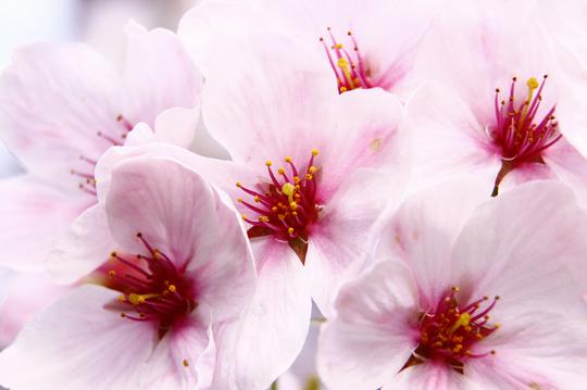 桜 6-3l.jpg