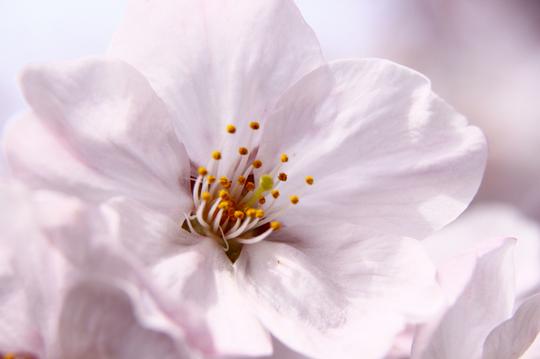 桜 6-5l.jpg
