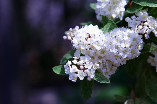 桜でまり ピンクアイス 2-6l.jpg