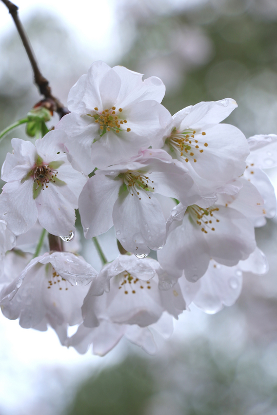桜雨.jpg