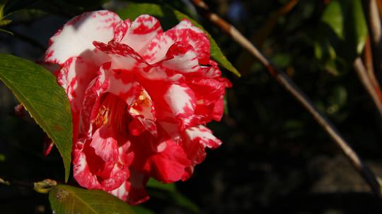 椿 牡丹咲き1l.jpg