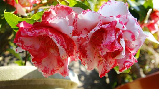 椿 牡丹咲き2l.jpg