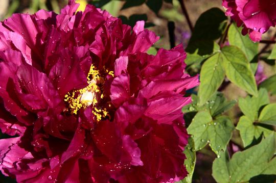 牡丹 紫 1-1l.jpg