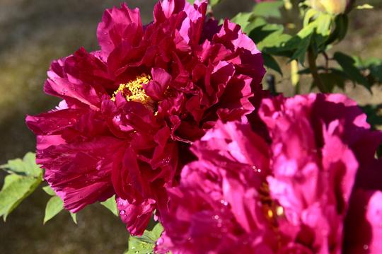牡丹 紫 1-2l.jpg