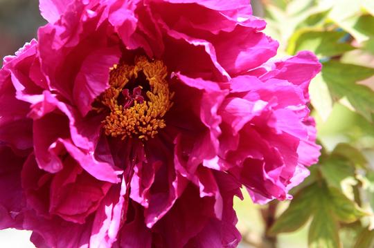 牡丹 紫 1-al.jpg
