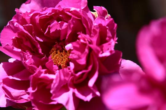 牡丹 紫 1-bl.jpg