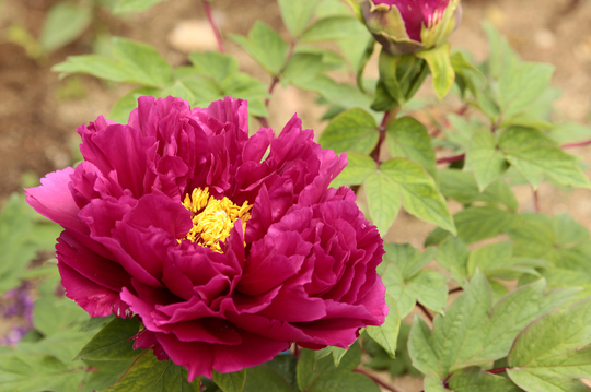 牡丹 紫 al.jpg
