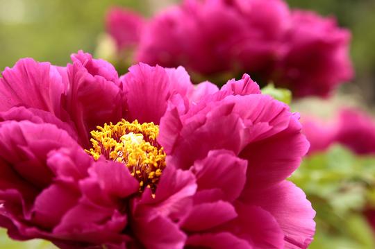 牡丹 紫 bl.jpg