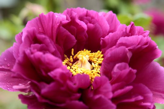 牡丹 紫 cl.jpg