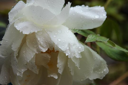 牡丹 雨 1l.jpg