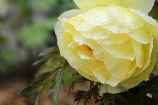 牡丹 雨 2l.jpg