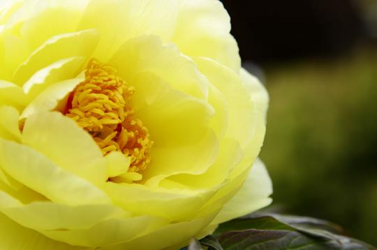 牡丹 黄 3l.jpg