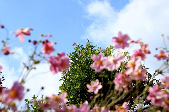 秋明菊 ピンク 1.jpg