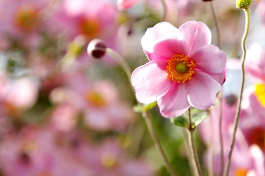秋明菊 ピンク 3.jpg
