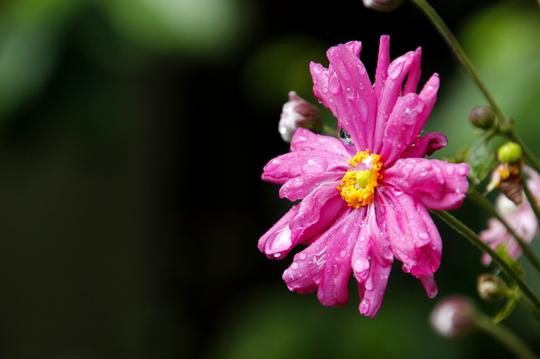 秋明菊 赤 1.jpg