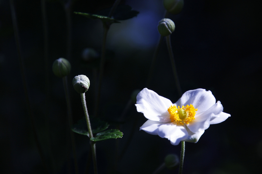 秋明菊(シュウメイギク) 3-3l.jpg