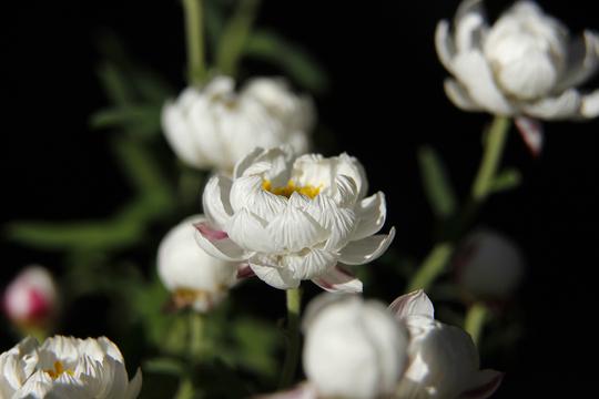 花かんざし(ヘリプテラム)0-3l.jpg