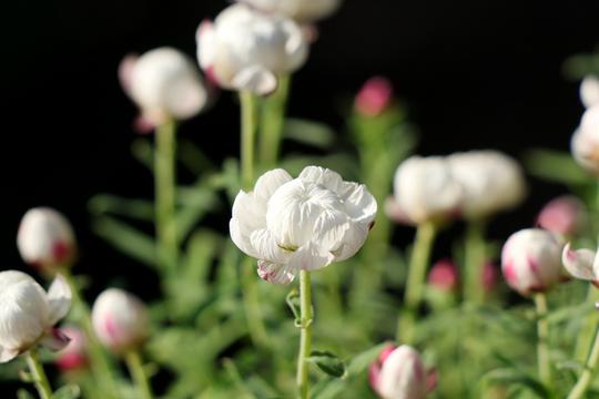 花かんざし(ヘリプテラム)1-4l.jpg