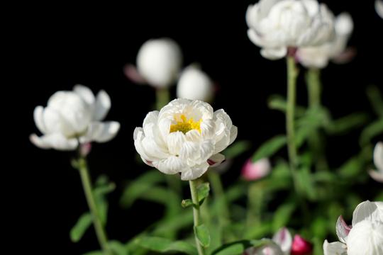 花かんざし(ヘリプテラム)1-5l.jpg