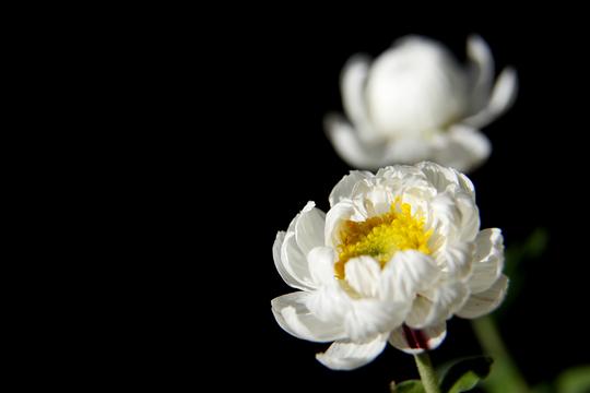 花かんざし(ヘリプテラム)1-6l.jpg