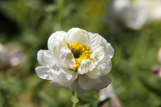 花かんざし(ヘリプテラム)1-7l.jpg
