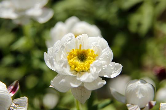 花かんざし(ヘリプテラム)1-8l.jpg