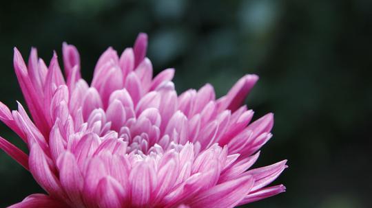 菊 紫b2l.jpg