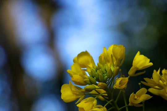 菜の花 5l.jpg