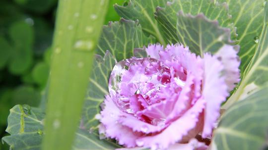 葉牡丹2l.jpg